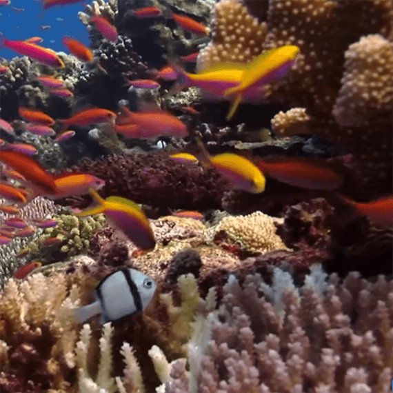 This is a virtual tropical aquarium. Lots of colorful fish swimming in and out of coral that waves and undulates in the water.